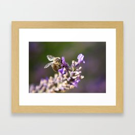 Bee on a lavender stem Framed Art Print