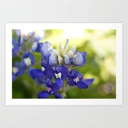 Bluebonnet Flowers in the Wild Art Print