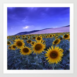 Sunflowers At Blue Hour . Square Art Print