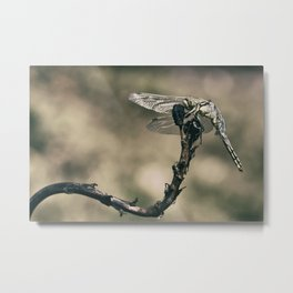 "The little predator ""Orthetrum cancellatum"" Metal Print"
