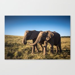 Two happy elephants walking together in African Savannah at sunset Canvas Print