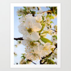Cherry Blossom Flowers Art Print