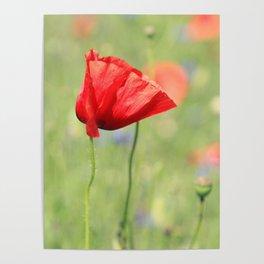 poppy flower no7 Poster