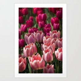Pink Dutch Tulips Art Print