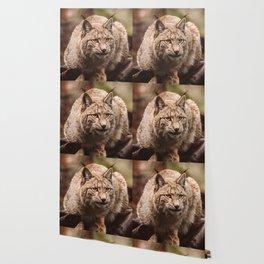 Bob Cat Wallpaper