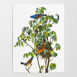Blue Grosbeak James Audubon Vintage Scientific Illustration American Birds Poster