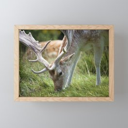 Fallow Deer with big antlers grazing on grass at a British country park estate Framed Mini Art Print