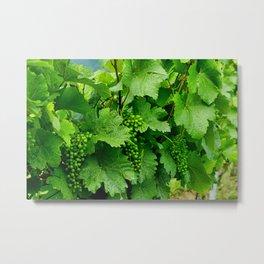 Green Grape Clusters Among the Vines Metal Print