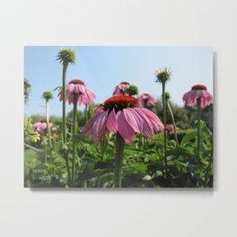 rudbeckia pink flower Metal Print