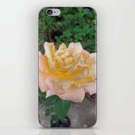 Yellow Rose in the garden from the nature, flower from Spain iPhone Skin