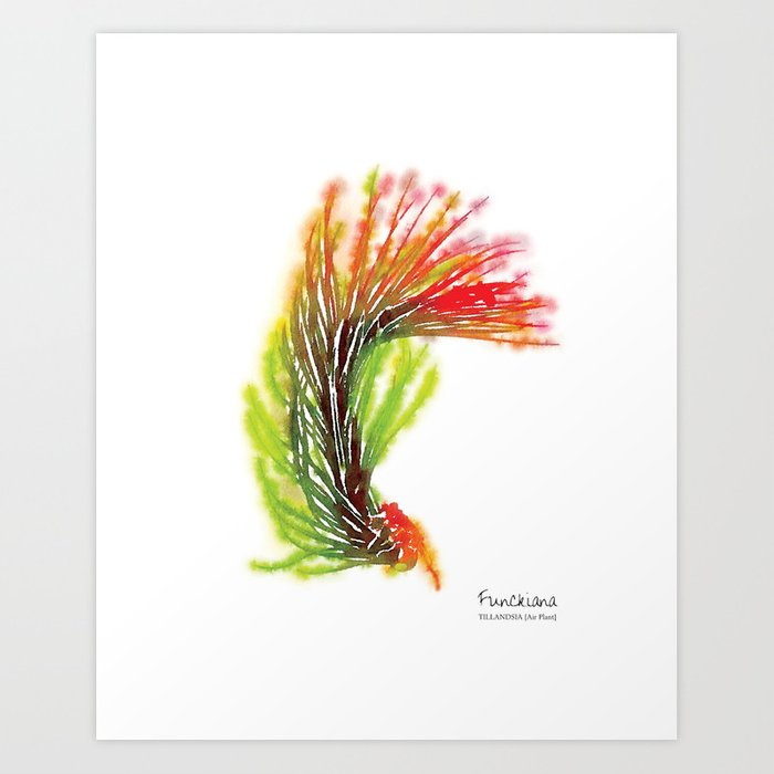 Tillandsia Funckiana Air Plant Watercolors Art Print