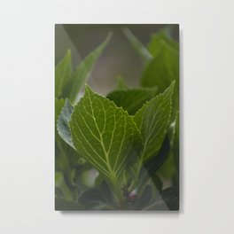 Hydrangea Leaves Metal Print
