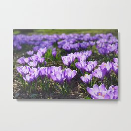 Purple Crocuses Metal Print