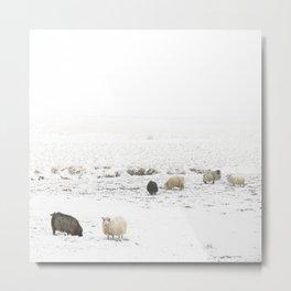 Icelandic Sheep IIII Metal Print