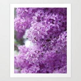 lilacs up close Art Print