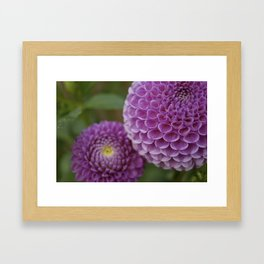 Purple Dahlia Framed Art Print