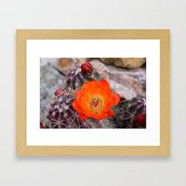 Trichocereus Cactus Flower  Framed Art Print
