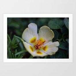 Portulaca Flower up close Art Print