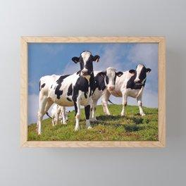Young Holstein cows Framed Mini Art Print