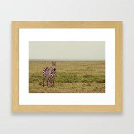 Lone Zebra Framed Art Print