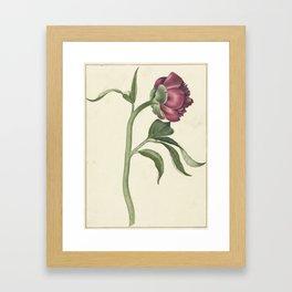 Flower peony, CJ Crumb, 1700 - 1800 Framed Art Print