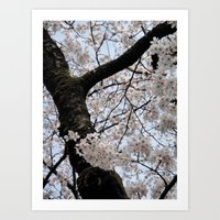cyarin Art Prints featuring Sakura Blooming (Japan) by Julie Maxwell