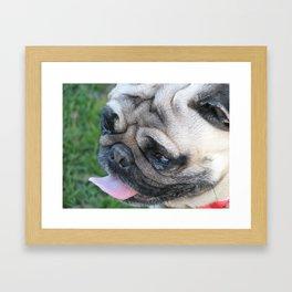 Pug dog face Framed Art Print