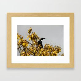 New Zealand Tui bird Framed Art Print