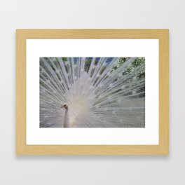 Magnificent White Tail of the Beautiful Indian Peacock Bird Framed Art Print