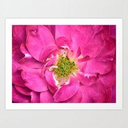 Rose Petals & Stamens ~ Close-up of a Pink Flower ~ Floral Photography Art Print