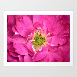 Rose Petals & Stamens ~ Close-up of a Pink Flower ~ Floral Photography Art Print