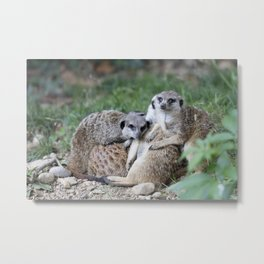 meerkats in the savannah Metal Print