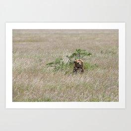 A male lion in The Serengeti Art Print