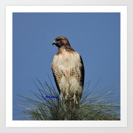 Red-Tailed Hawk on Watch at Foothill and B Street Art Print