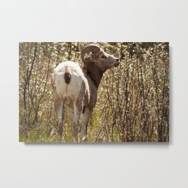 Wild Sheep Photography Print Metal Print