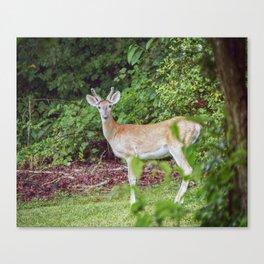 Young Buck in Velvet Canvas Print