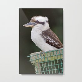 Kookaburra Metal Print