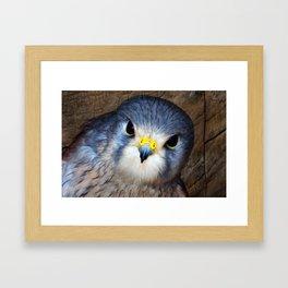 Kestrel in close-up Framed Art Print