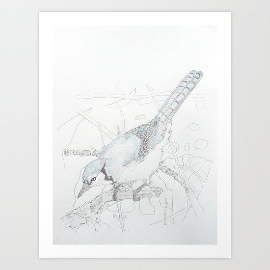 Cyanocitta cristata Art Print