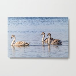 Swans on the water Metal Print