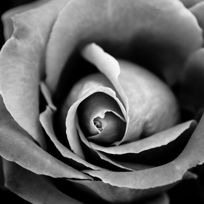 Black and White Rose  Comforters