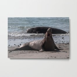 Bull Elephant Seal Metal Print