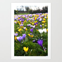 Lost in Crocuses Art Print