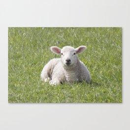 Spring little lamb Canvas Print