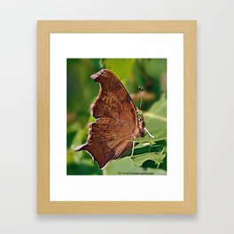 Dusky Daggerwing Butterfly Framed Art Print