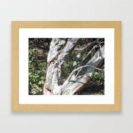Old Growth Manzanita-Railroad Flat, Ca. Framed Art Print