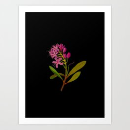 Rhododendron Ponticum Mary Delany British Botanical Floral Art Paper Flowers Black Background Art Print