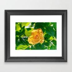 Gold rose Framed Art Print