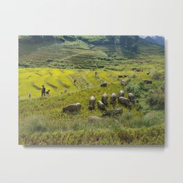 Rice fields in North Vietnam. Farmers with cattle on the hills. Metal Print