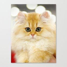 Very young red fluffy cat Canvas Print